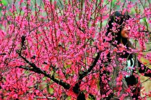 红色的桃花美不胜收。