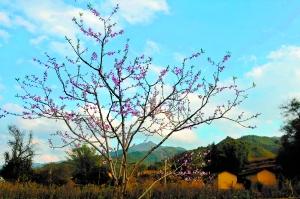 桃花连山成片。