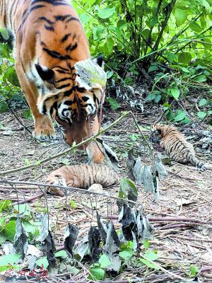 虎妈宝贝和两个宝宝。