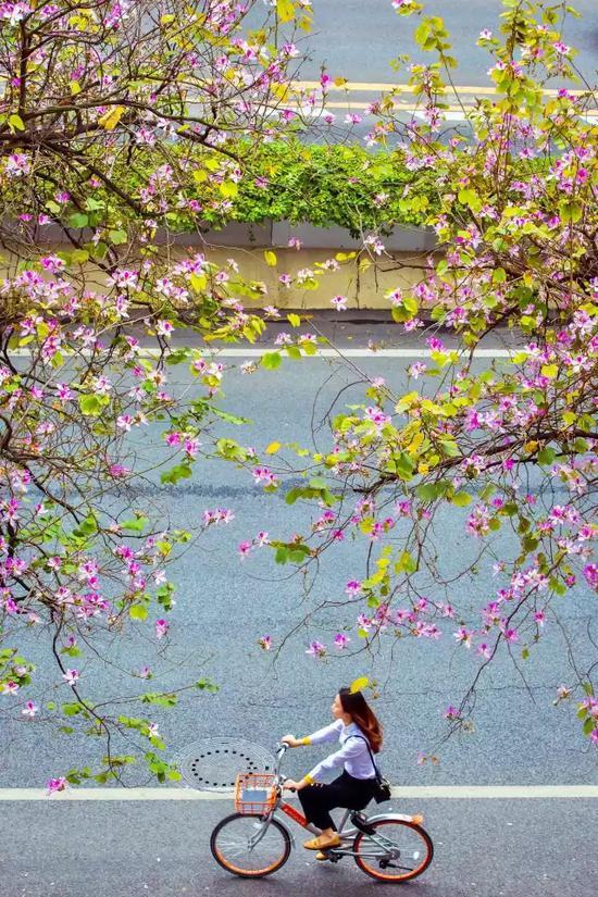 广州初春人民北路紫荆花绽放 如同人在画中行