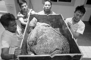 被查获海龟已运往徐闻珊瑚礁保护区管理局救护池。