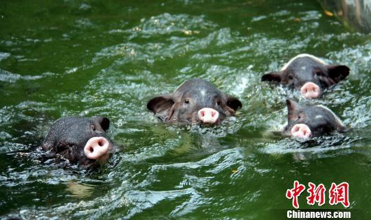 黑猪整日在水里游泳 曾令华 摄图片