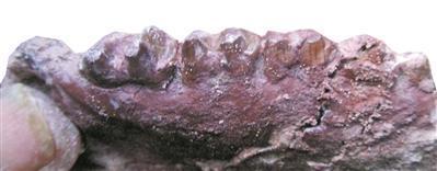 """赵灿辉发现的哺乳动物牙齿化石,并命名为""""赵氏三水脊兽""""。"""