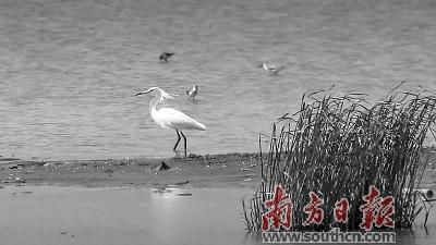 珠海市金湾区三灶发现珍稀水鸟黄嘴白鹭