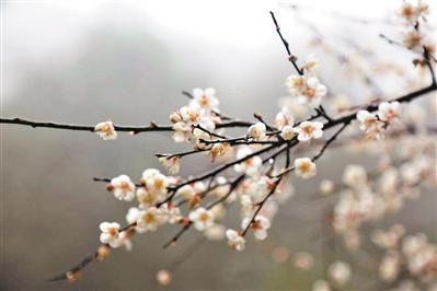 腊月刚至,梅关古道景区梅花盛放。