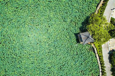 从空中俯瞰深井古村,一片碧翠的荷塘映入眼帘。