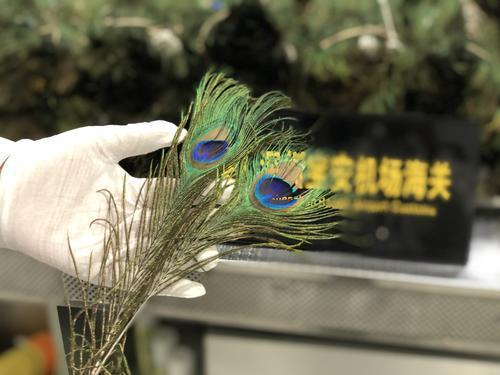 宝安机场海关查获入境旅客携带疑似绿孔雀尾羽