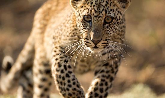 南卢安瓜国家公园,非洲豹的领地。本文摄影均为 Luke Massey 图