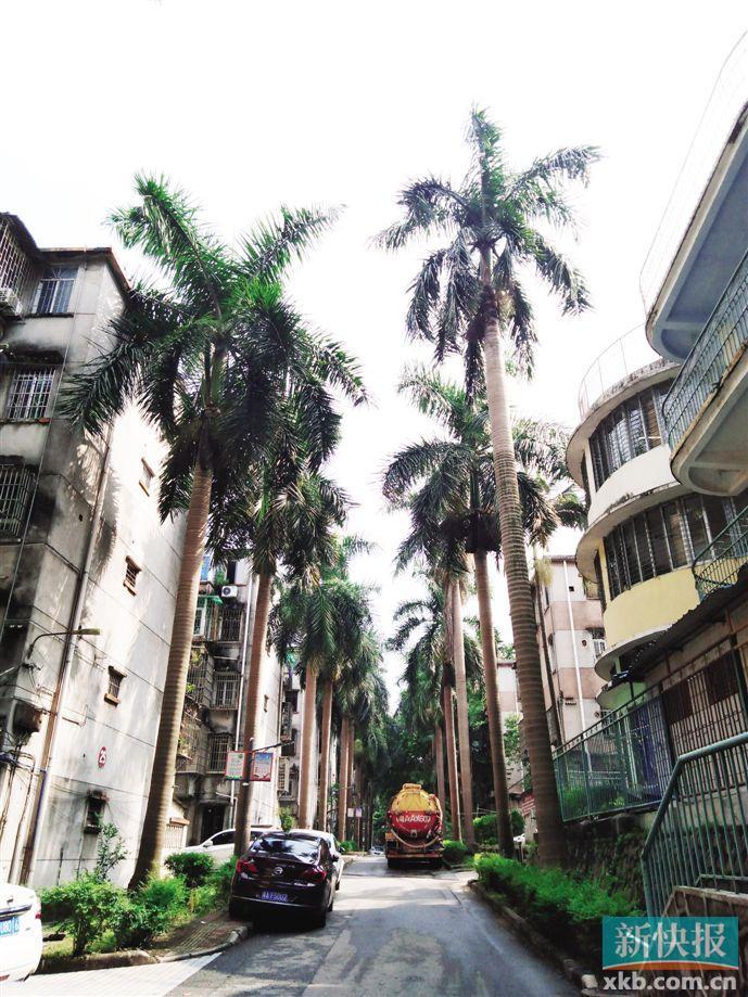 小区要砍500多棵大王椰 业主不舍