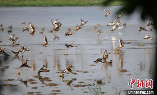 众多鸟类在广州南沙湿地栖息(资料图)。广东省林业局 供图