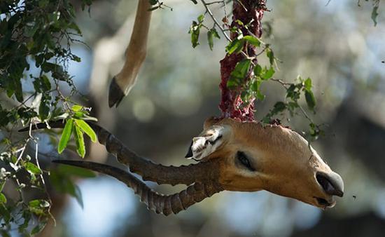 被爱丽丝捕杀的黑斑羚,头颅悬挂在树上。