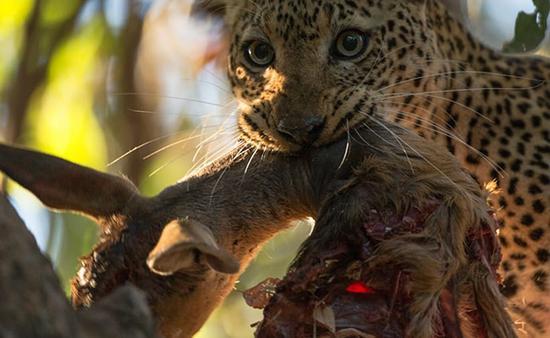 进食中的幼豹显然注意到了我和相机的存在