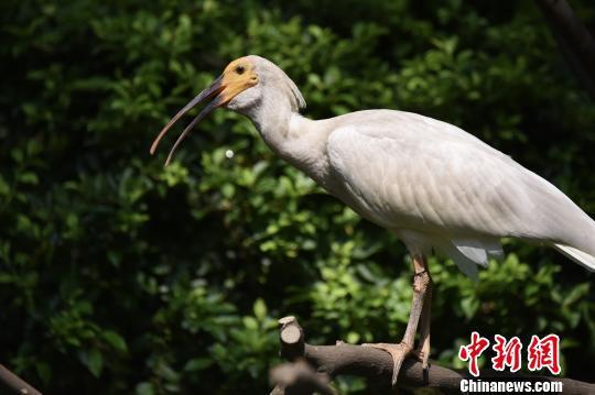 被列入濒危物种、曾被认为全球仅余7只的朱鹮,在广州繁育成共150多只的庞大种群。7月11日,在广州长隆飞鸟乐园,国宝级珍稀鸟类朱鹮首次与公众见面。 陈骥旻 摄