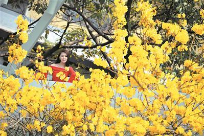 人才公园,黄花风铃木耀眼。