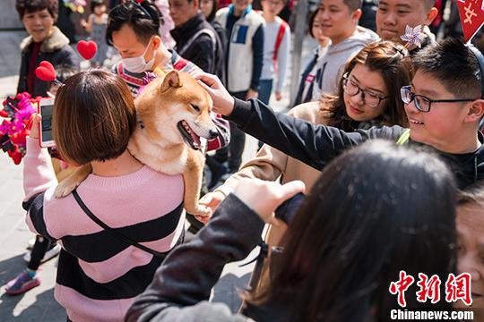 2月13日,一位市民怀抱柴犬来到广州越秀西湖花市,引起不少路人围观。中新社记者 廖树培 摄