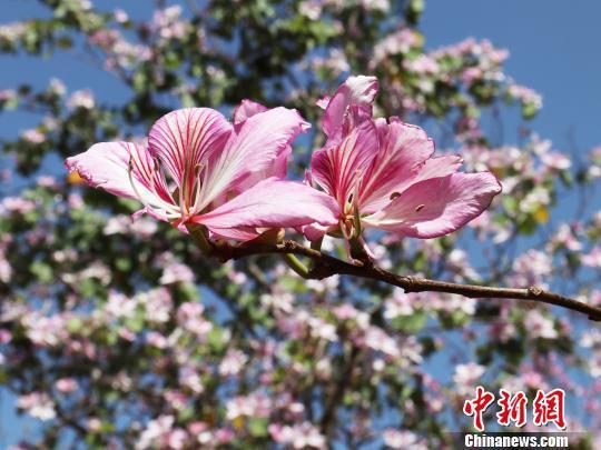 图为盛开的宫粉紫荆花。 邢健 摄