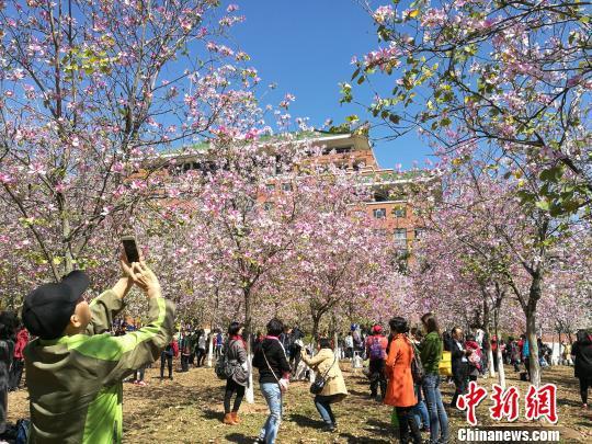 蓝天下,紫荆花树林里,人们赏花拍照欢声笑语。 邢健 摄