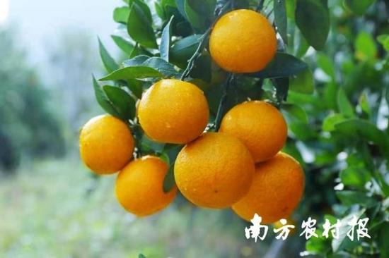 广东柑橘。