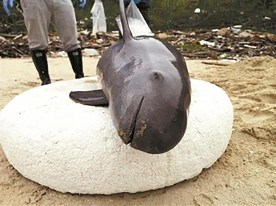 3月10日在桔钓沙被发现的死亡江豚已怀有身孕。深圳晚报 图
