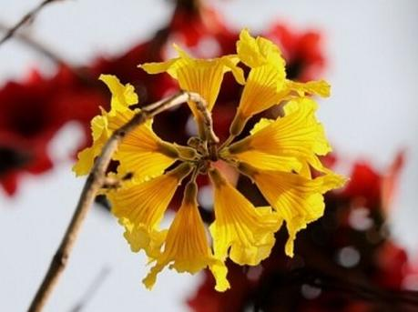 赏花要趁早 新丰黄花风铃木已绽放