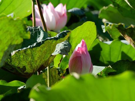 又到赏荷季 湛江市区公园荷花含苞待放