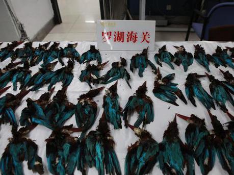 222只白胸翡翠鸟尸体惊现罗湖口岸 内脏全被掏空