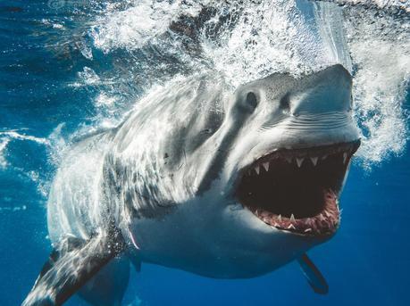 震撼!摄影师近距离拍摄凶猛鲨鱼