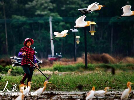 广东高州:白鹭鸟在田间与村民共舞