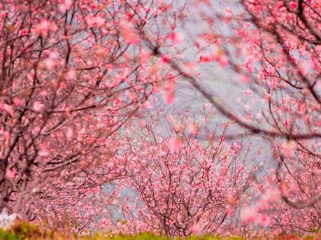 广州樱花提前一个月绽放