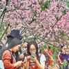 南沙大岗樱花太美了!开春风十里只等你