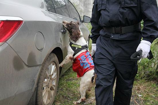 据介绍,一只训练有素的缉毒犬1分钟就能搜查完一辆大货车,而搜查小车内的时间则更短。