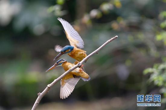 3月28日,在江苏省常州市红梅公园,一对翠鸟在枝头上演春日里的爱情故事。新华社发(周海军 摄)