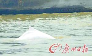一条白色的海豚在清远水利枢纽附近出没。