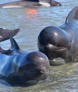 新西兰400鲸鱼搁浅