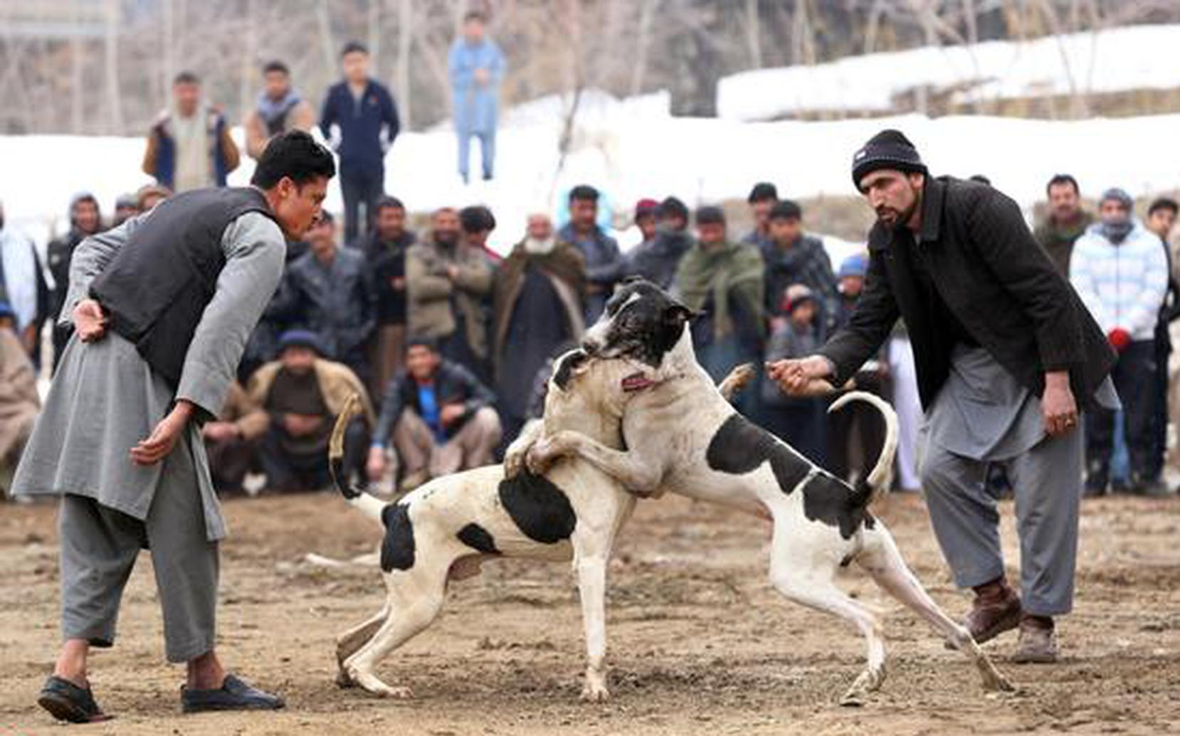 阿富汗斗狗比赛场面残暴