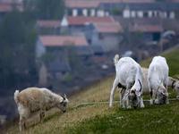 三水一农户一夜被盗160多头羊