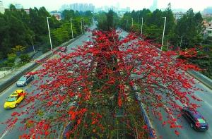东莞市内的木棉花竞相怒放