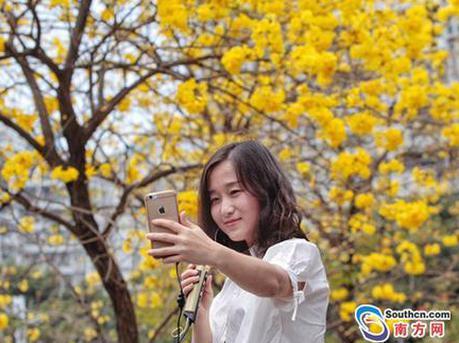深圳:黄风铃木花正开 错过就要等明年