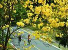 东莞松山湖黄花风铃木盛开