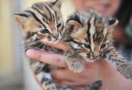 野生动物园收容救助小豹猫