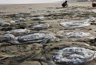 巨型水母搁浅