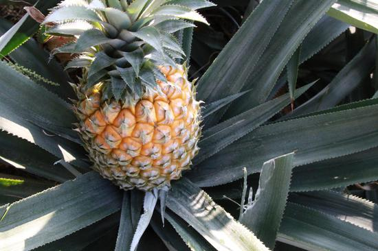 立体菠萝每步骤图解