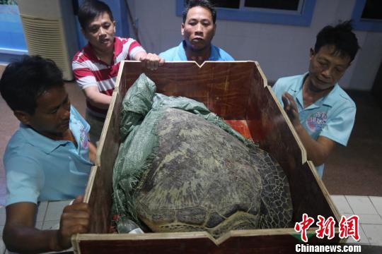 徐闻县渔政大队查获疑似被非法运输的10只绿海龟 徐闻珊瑚礁管理区保护局供图