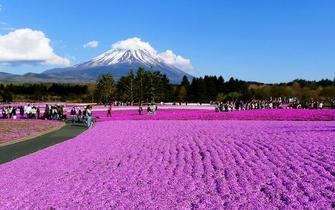 日本富士赏芝樱风光