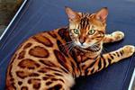 全国罕见!实拍深圳闹市出现多只野生豹猫