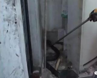 中山女厕所发现4斤多重的眼镜蛇 如厕女子吓晕