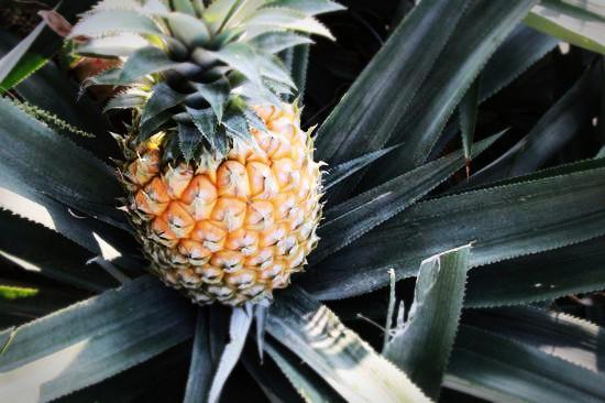 金灿耀眼的黄皮     除了菠萝,在丫髻山脚的果园里,种了很多其他水果,比如像小编这种北方人很少吃到的黄皮,黄皮原产中国南方,在中国一千五百多年的历史,黄皮的外表呈现出金灿的黄,它肉质很厚,皮很薄,本地黄皮,比较圆身,跟外面卖的有区别,因为外面卖的是比较大粒长身一点的,那些叫鸡心黄皮。   据当地自游农场老板陈倩文先生介绍,本地黄皮一定要去到村里才能找到了,因为多数果场或者其他地方都是种鸡心黄皮多,那些不是不好吃,但黄皮味没这么重。