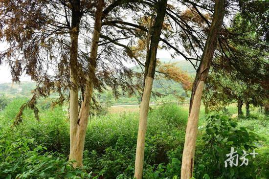 不法分子剥树皮的时间可能是在7月12日前后,被剥皮的这4棵红豆杉树高