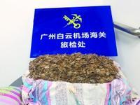 广州一男子将36公斤穿山甲鳞片藏枕芯床单欲闯海关