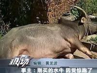 大水牛受惊在梅州城区乱窜 撞伤5名行人后被击毙